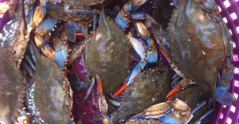Louisiana blue crabs