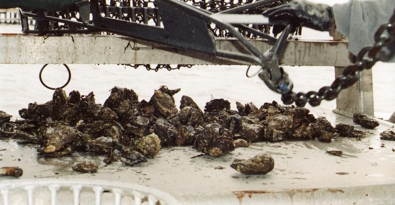 fresh caught oysters