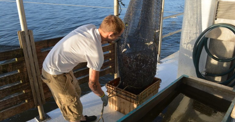 deckhand unloading shrimp from skimmer net on boat deck